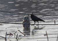カラスに追われるフクロウ、、 - ぶらり探鳥