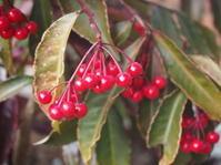 縁起の良い木として親しまれるマンリョウ - 神戸布引ハーブ園 ハーブガイド ハーブ花ごよみ