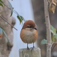 朝いち - TACOSの野鳥日記