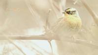 ヤマヒバリ - 北の野鳥たち