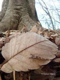 真冬の散歩道:オオムラサキの越冬幼虫を探して - NATURE DIARY