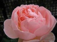 【今日のびっくり】ボレロはシャリファ・アスマの子だった - お散歩アルバム・・春の足音