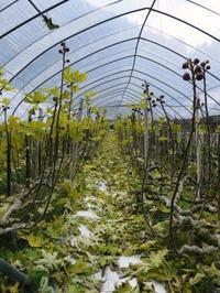 甘熟イチジク落葉と現在の様子そして3月には選定作業を施します - FLCパートナーズストア