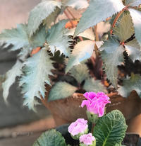 クリスマスローズ・シルバーダラーの葉が美しい - 小さな庭 2