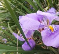 寒庭に咲く… - 侘助つれづれ
