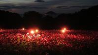 夜のコスモス福岡・能古島 - 美由紀の六角オセロ ラブ