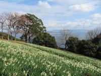 福岡・のこのしまアイランドパークです。園内の日本水仙です。 - 美由紀の六角オセロ ラブ