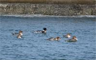 海辺のカモ - 野鳥がいるから