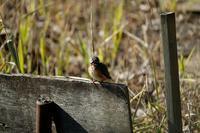 ■鳥の口は赤い?19.1.11(カワセミ、シジュウカラ、ヒヨドリ) - 舞岡公園の自然2