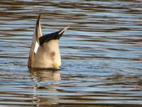 『木曽川水園鳥風景(オカヨシガモ・シメ・アオジ等)』 - 自然風の自然風だより