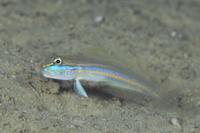 サオトメハゼ - 沖縄 ダイビング 水中写真 フォトギャラリー