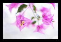 ブーゲンビリア - Desire