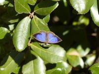 ムラサキシジミ寒の寒さに耐える - 蝶のいる風景blog
