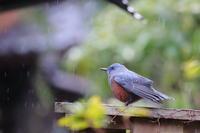 雨の朝 - TACOSの野鳥日記