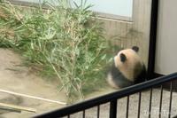 上野動物園 ~シャンシャン 2018年~ -  Toi Toi Toi ~しあわせのおまじない~