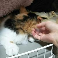 お正月めも日記と、ムクゲちゃんの事 - ゆきももこの猫夢日記