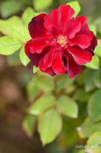 バラルビーセレブレーション|真っ赤なバラ - 今日の小さなシアワセ