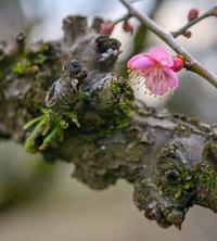 ✔ 紅梅の咲く頃=熊本市動植物園 - チャレンジ! 日々の散歩道