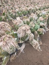 越冬白菜のすごい効果 - パームツリー越しにgood morning        アロマであなたの今に寄り添うブログ
