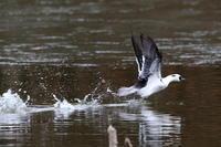 隣県のミコアイサ(2) - 銀狐の鳥見