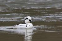 隣県のミコアイサ(3) - 銀狐の鳥見