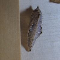 #チョウ『食器戸棚の引き出しで紋白蝶が羽化したよ !!』 - 自然感察 *nature feeling*