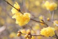 甘い香りが楽しめる新春の花 - 神戸布引ハーブ園 ハーブガイド ハーブ花ごよみ