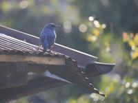 逆光 - TACOSの野鳥日記