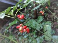 青木 - だんご虫の花