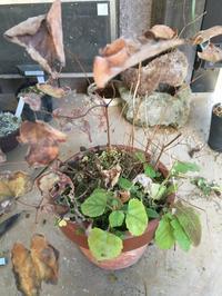 イカリ草植え替え - 園芸のいのうえ屋