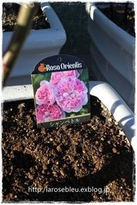 久々の植え付け'シャンペトル' - La rose 薔薇の庭