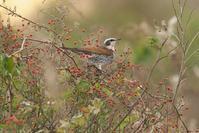 野ばらの実を食べに来たツグミ - 近隣の野鳥を探して