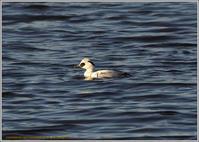 遊水池のパンダ - 野鳥の素顔 <野鳥と日々の出来事>