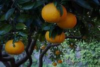 倭橘 - フォトな日々