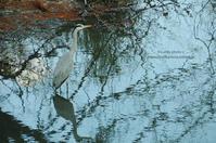 ピアノ池の鳥たち -アオサギ- - It's only photo 2