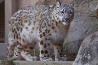 1ヵ月ぶりに登場。ユキヒョウのフクちゃんです(多摩動物園) - 旅プラスの日記
