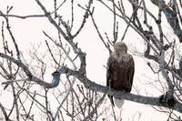 冬のオジロワシ - 比企丘陵の自然