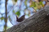 ミソサザイ - 続 鳥撮るclub