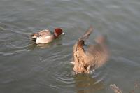 昨日、何時もの神崎川でカモの写真撮りました。 - 写真で楽しんでます!