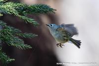キクイタダキのホバリング - 気ままに野鳥観察