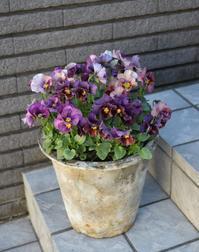 花持ちが良かったビオラ・アルスノーヴァ - ヒバリのつぶやき