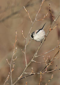 恋の季節⁈...エナガ - 野鳥...四季折々