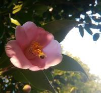 椿とミツバチ… - 侘助つれづれ