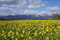 「びわ湖守山の寒咲菜花-なぎさ第一公園ー」 - ほぼ京都人の密やかな眺め
