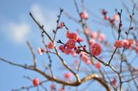岡本梅林公園へ - カンパーニュママの暮らしの雑貨とポメプーころすけと日々の出来事日記