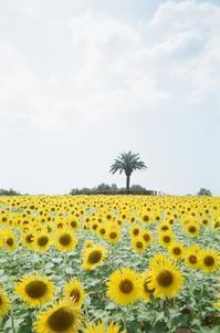 向日葵畑 - photomo