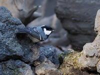 森林公園水場のヒガラ - コーヒー党の野鳥と自然 パート2