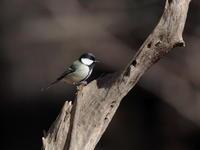 小根山森林公園のシジュウカラ - コーヒー党の野鳥と自然 パート2