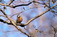 繁殖羽コガモ(小鴨)他 - 身近な自然を撮る