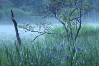 紫・礼讃Ⅱ~居谷里湿原のカキツバタ~ - 拙者の写真修行小屋